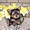 Adorable-baby-yorkie-puppies-for-x-mas